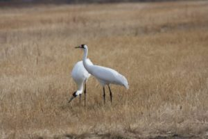 Childhood sweethearts: Most whooping cranes pair up long before breeding age