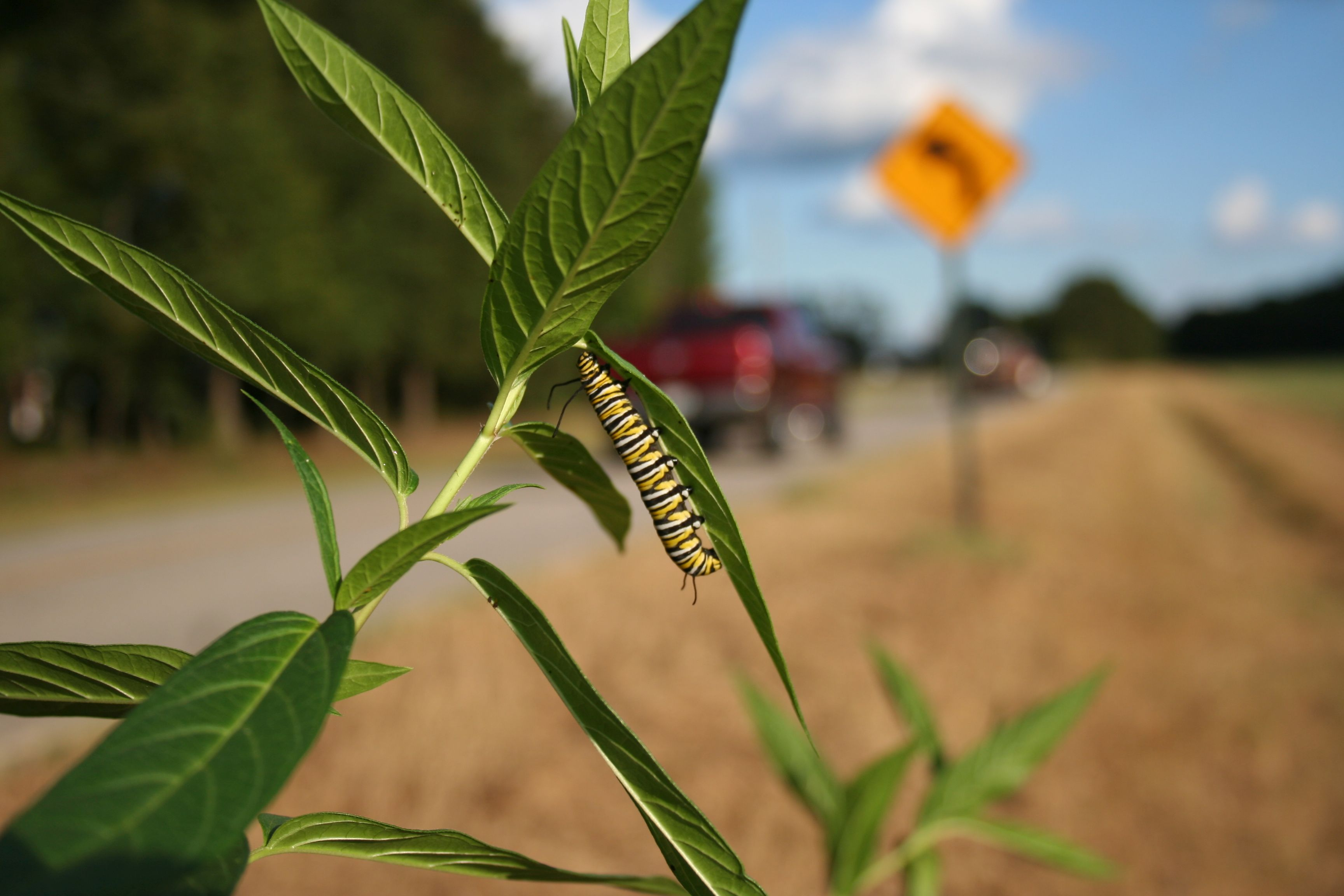 Caterpillar 'road rage' could affect migration: Highway noise can lead to stress for monarch butterfly caterpillars