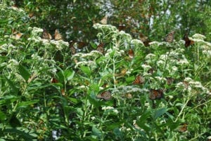 Migrating monarch butterflies that mix with year-round residents have higher rates of parasite infection