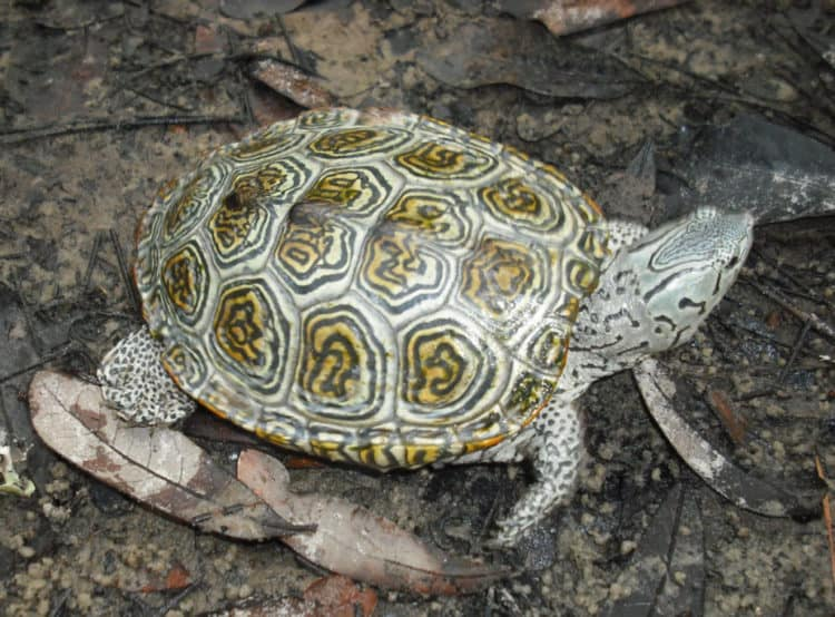 Turtle Species Decline May Impact Environments Worldwide