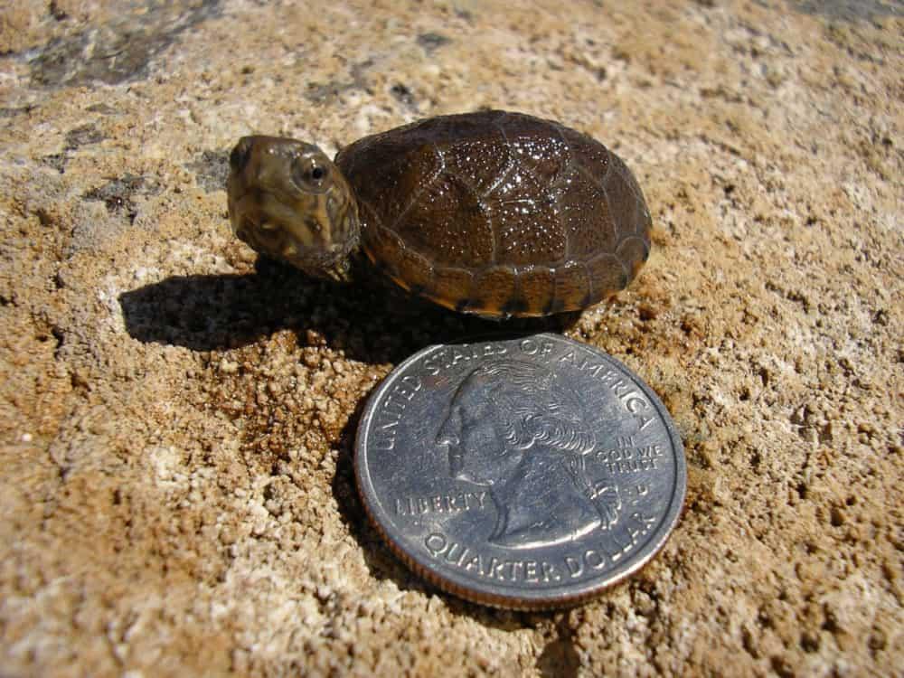 Hatchling Sonora mud turtle. Photo: Jeffrey Lovich, USGS