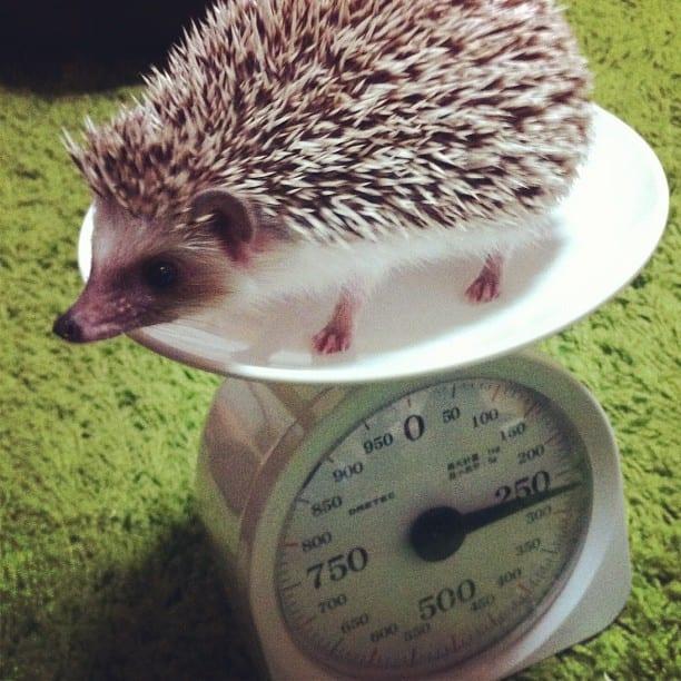 Hedgehog on a scale.
