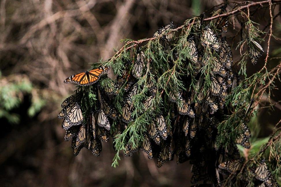 Monarch butterflies overwintering