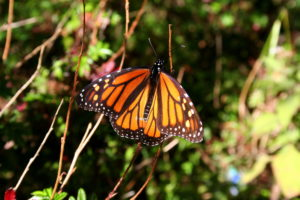 Davis discusses monarch butterflies on Living Lab Radio