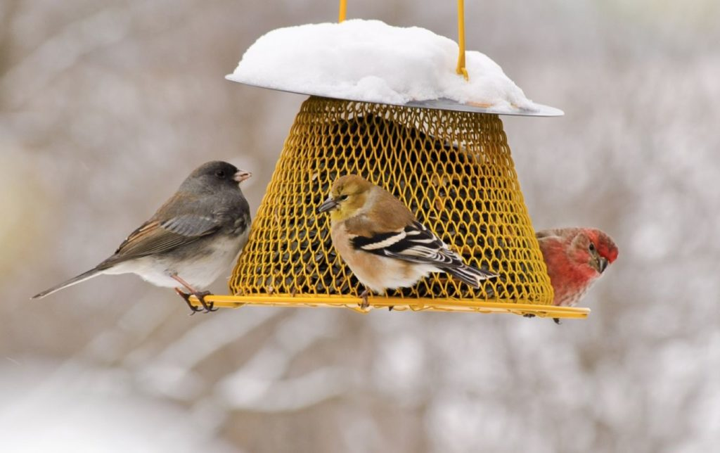 A dark-eyed junco, an American goldfinch, and a house finch feed on sunflower seeds on a snowy day. Photo: Cynthia Raught.