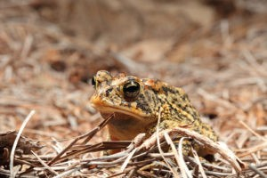 Toxic toads can tolerate environmental contaminants