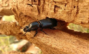 The sicker the better: Parasites help their beetle hosts function more effectively