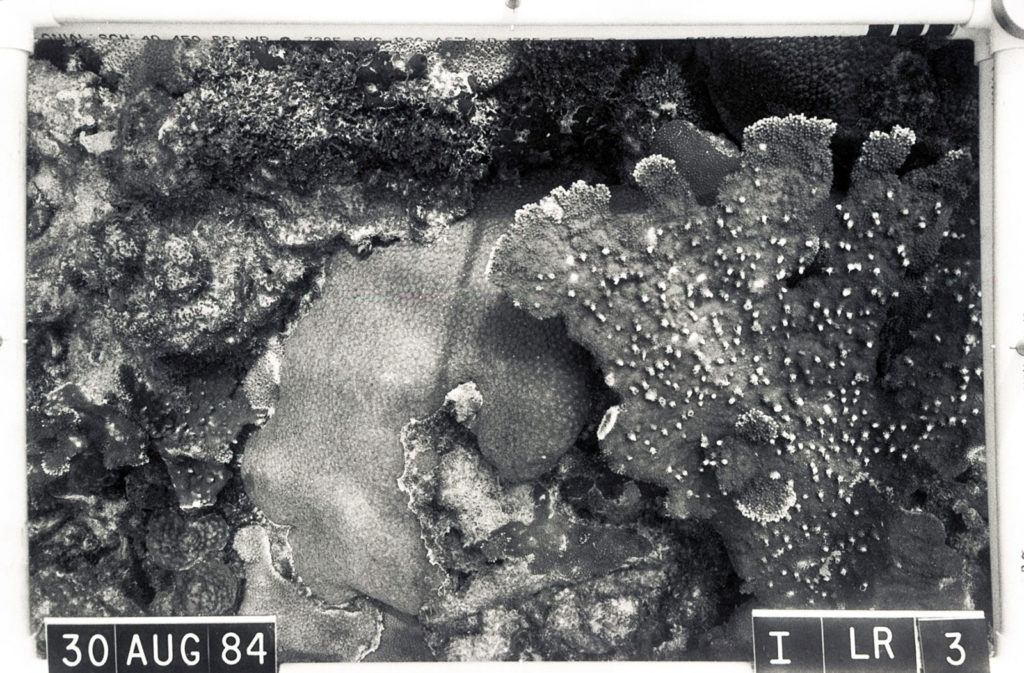 'After' photo of coral on Looe Key Reef, Florida.