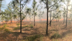 Study reveals an unexpected role of fire in longleaf pine forests