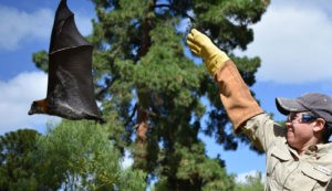 In the field with flying foxes