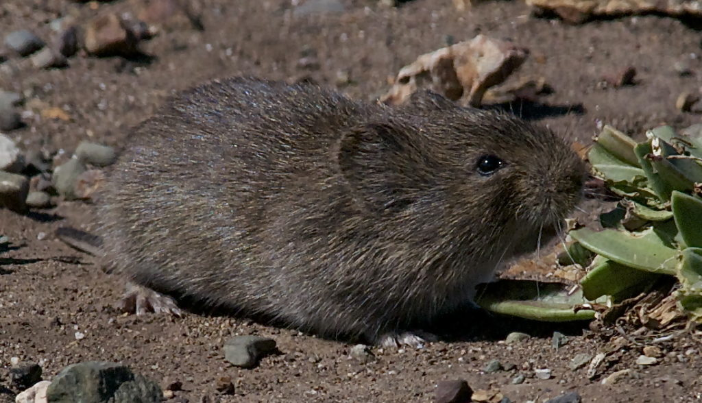 California vole. Photo: Jerry Kirkhart [CC BY 2.0 (https://creativecommons.org/licenses/by/2.0)] via Wikimedia Commons