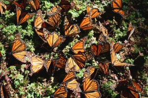 What Is Really Killing Monarch Butterflies?
