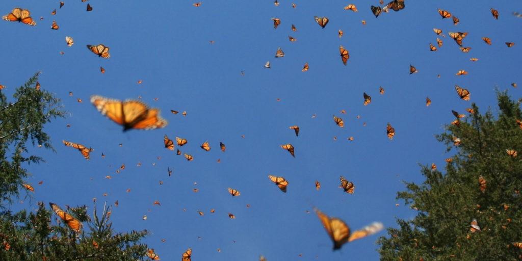 image of migratory monarchs