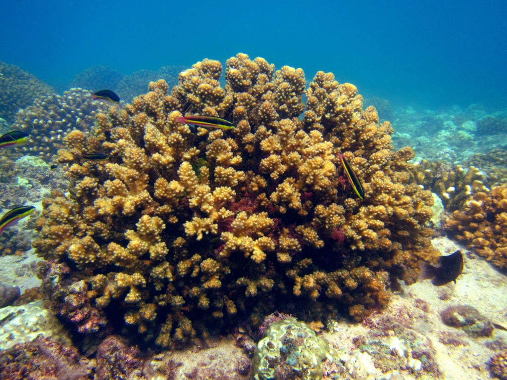 Coral reefs in the Eastern Tropical Pacific are dominated by dense clonal stands of rapidly growing and thermally tolerant species of Pocillopora. Photo: David Paz Garcia.