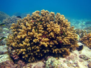 """Coral reefs show """"ecological memory"""" and resilience to rising temperatures"""