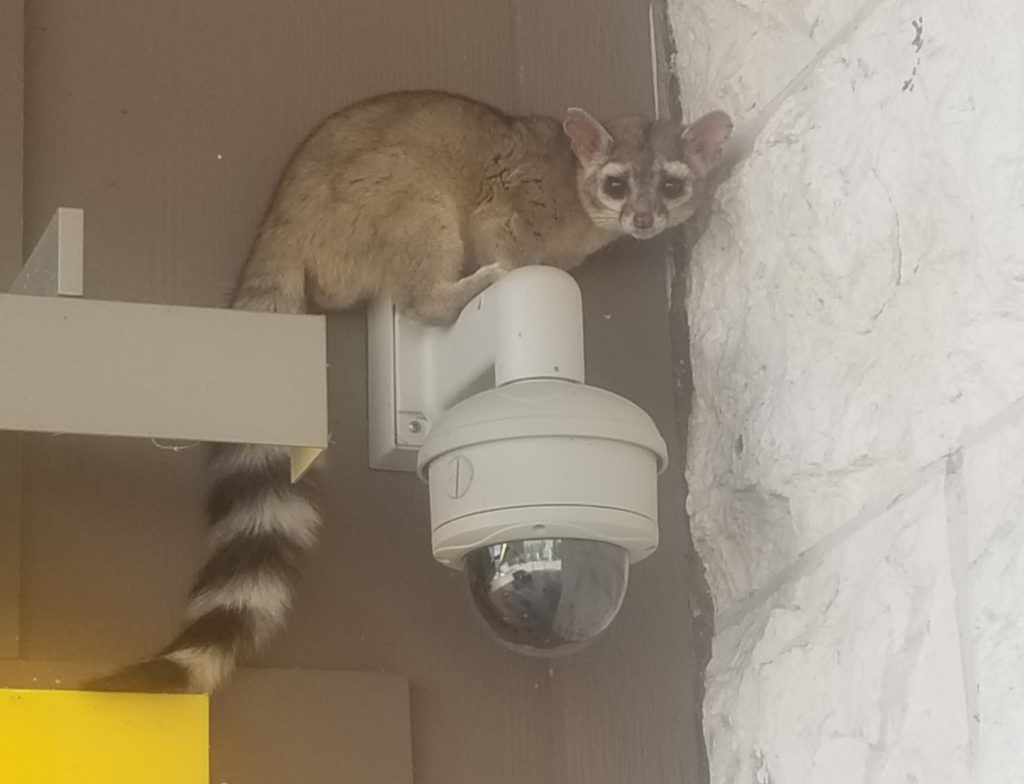Ringtail perched on a camera fixture. Credit: © robert_dwyer, Cc by nc small some rights reserved. This photo has been slightly cropped from the original.