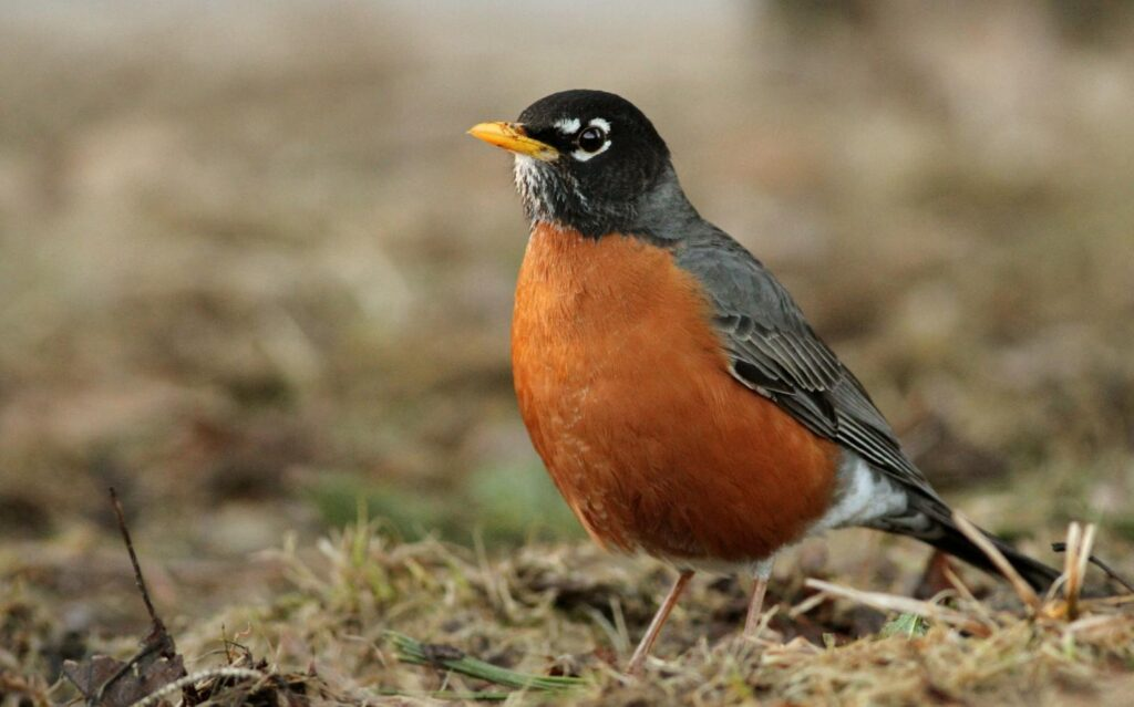 American robin (Turdus migratorius), a true thrush, flagged as likely to be a competent Lyme host. Credit: Fyn Kynd