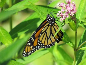 Long-lived butterfly parasites can't take the heat