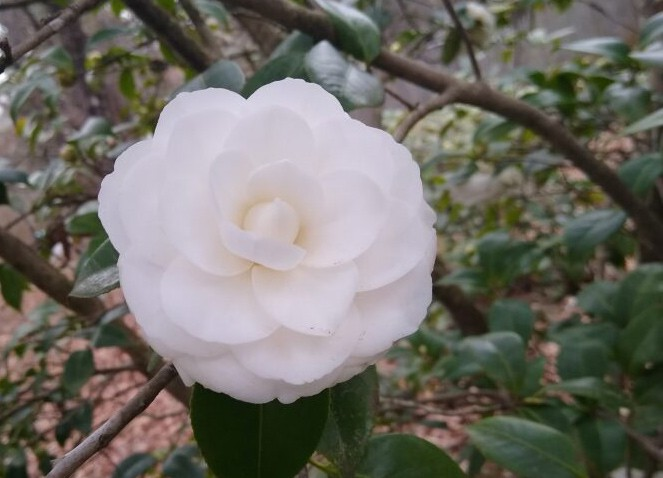 Camellia flower. Photo courtesy of EcoReach.
