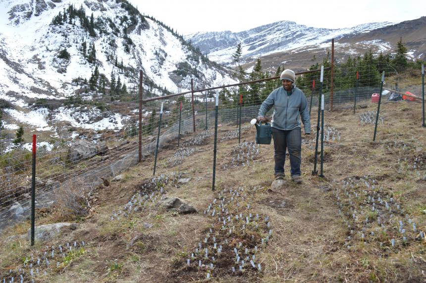 Former lab manager Bashira Chowdhury waters experimental plants immediately after transplanting in fall 2013 in the highest elevation garden (3340m). Photo: Jill Anderson.
