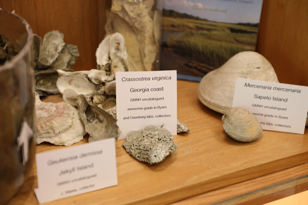Oysters collected on the Georgia coast are part of the exhibit of bivalves from the collection of the Georgia Museum of Natural History. Photo: Ben Taylor.