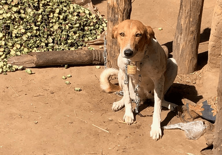 A dog tethered to prevent Guinea worm infection. Photo: Chris Cleveland/UGA.